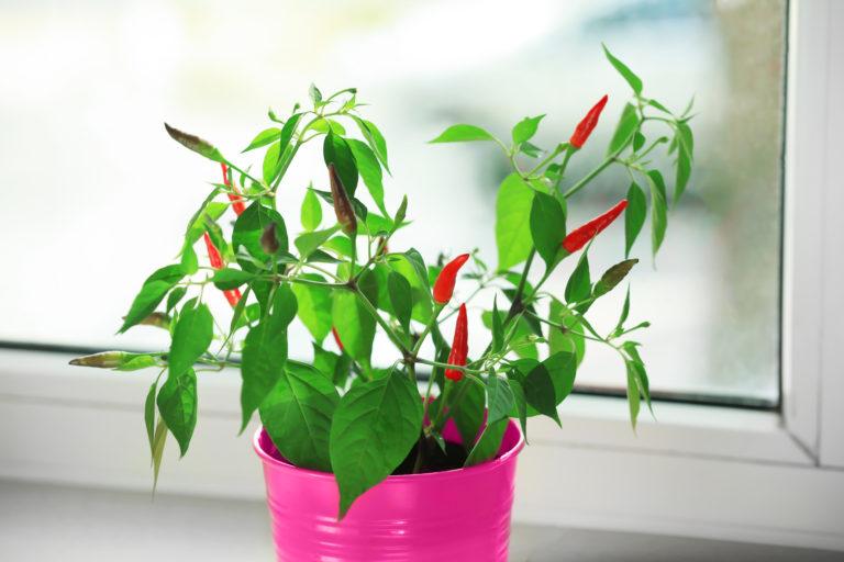 Chili gärtnern auf dem Fenstersims